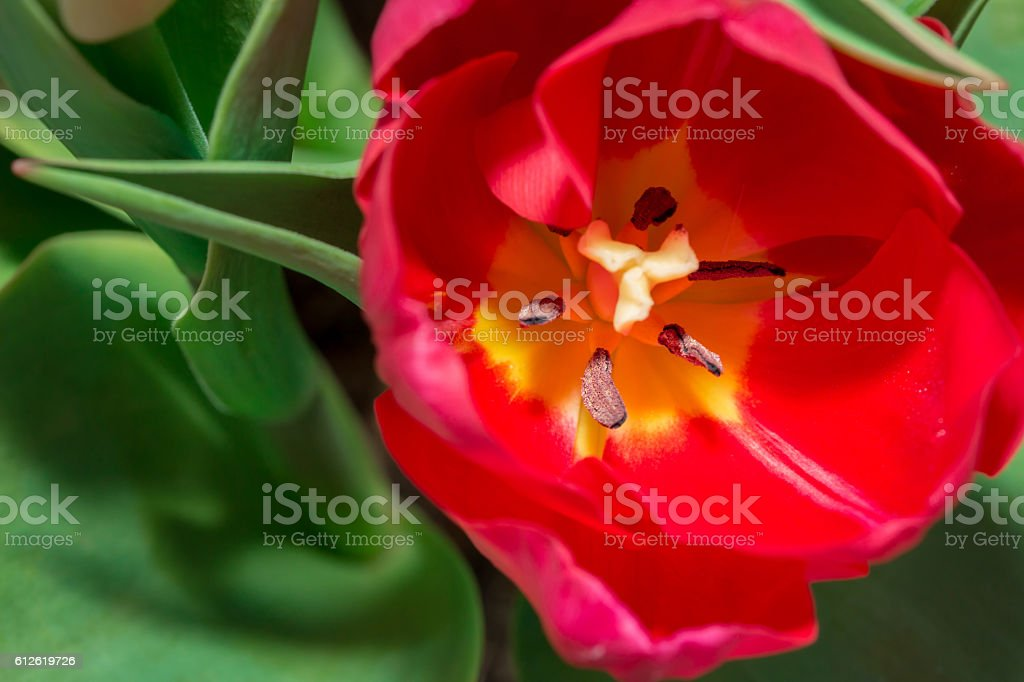 Tulip anthers with pollen grains of red Tulip flower. stock photo