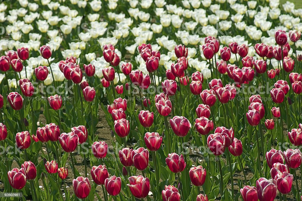 Tulip Background - Red and White royalty-free stock photo