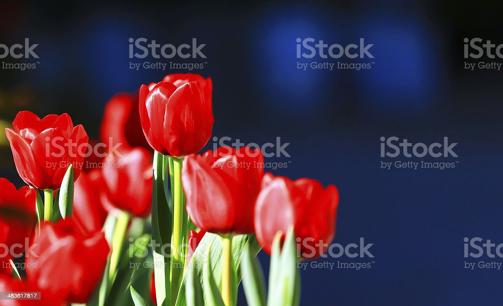 tulip. Beautiful bouquet of tulips. colorful tulips, tulip in the field stock photo