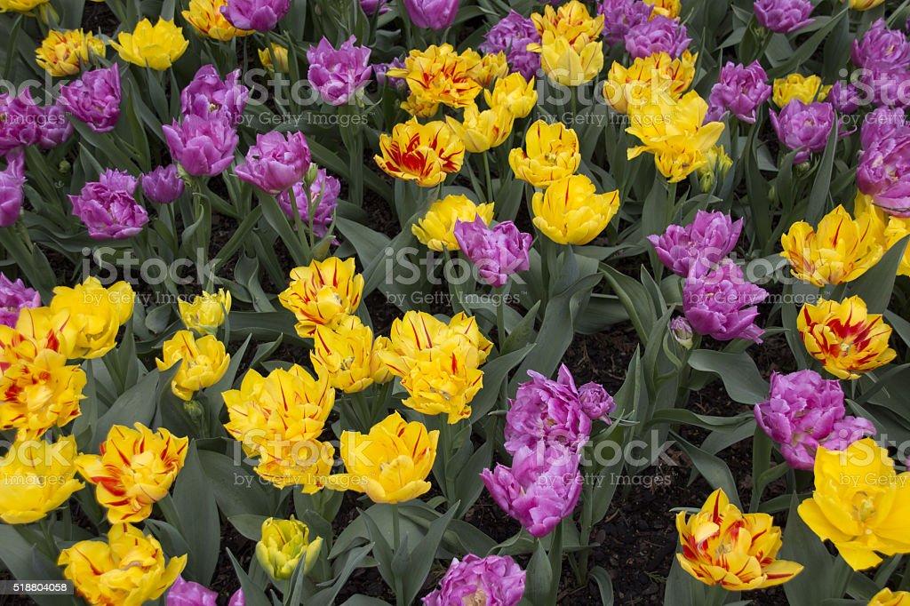 Tulip Blossoms stock photo