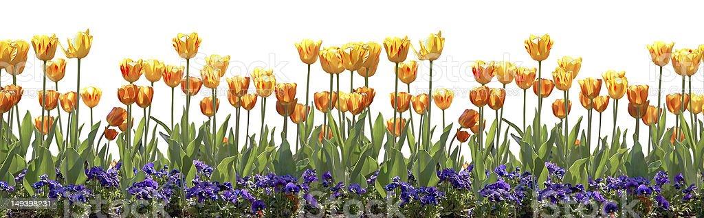 Tulip border royalty-free stock photo