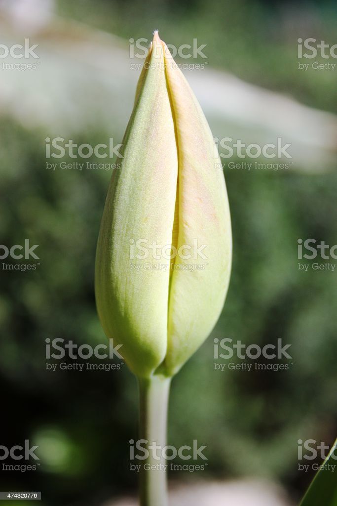 tulip bud red in the spring garden under blue sky stock photo