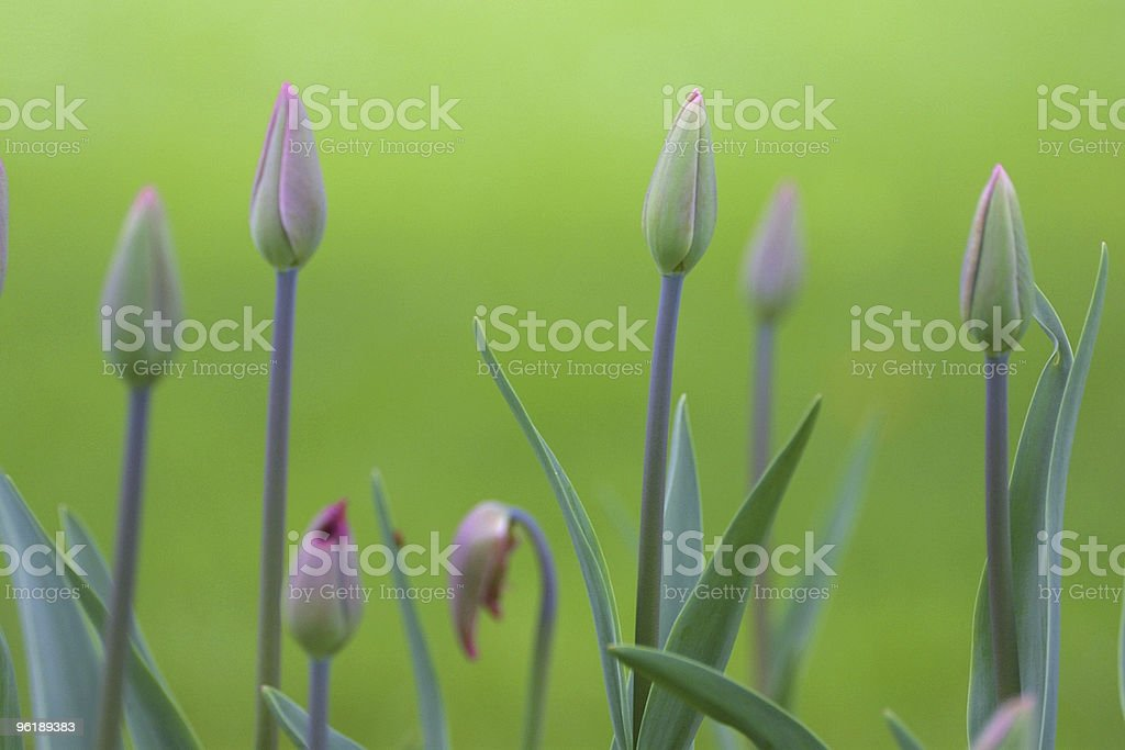 Tulip buds in morning light royalty-free stock photo