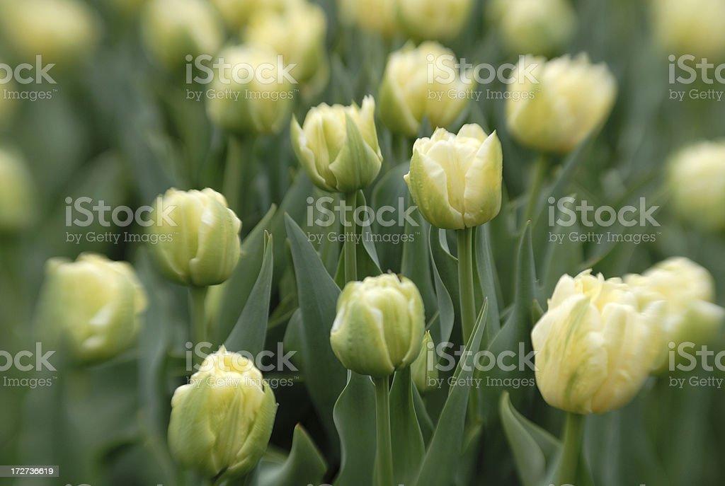 Tulip Buds royalty-free stock photo