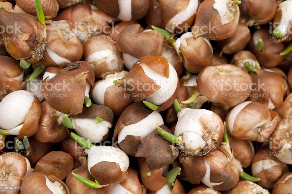 Tulip Bulbs for Sale Amsterdam Market royalty-free stock photo