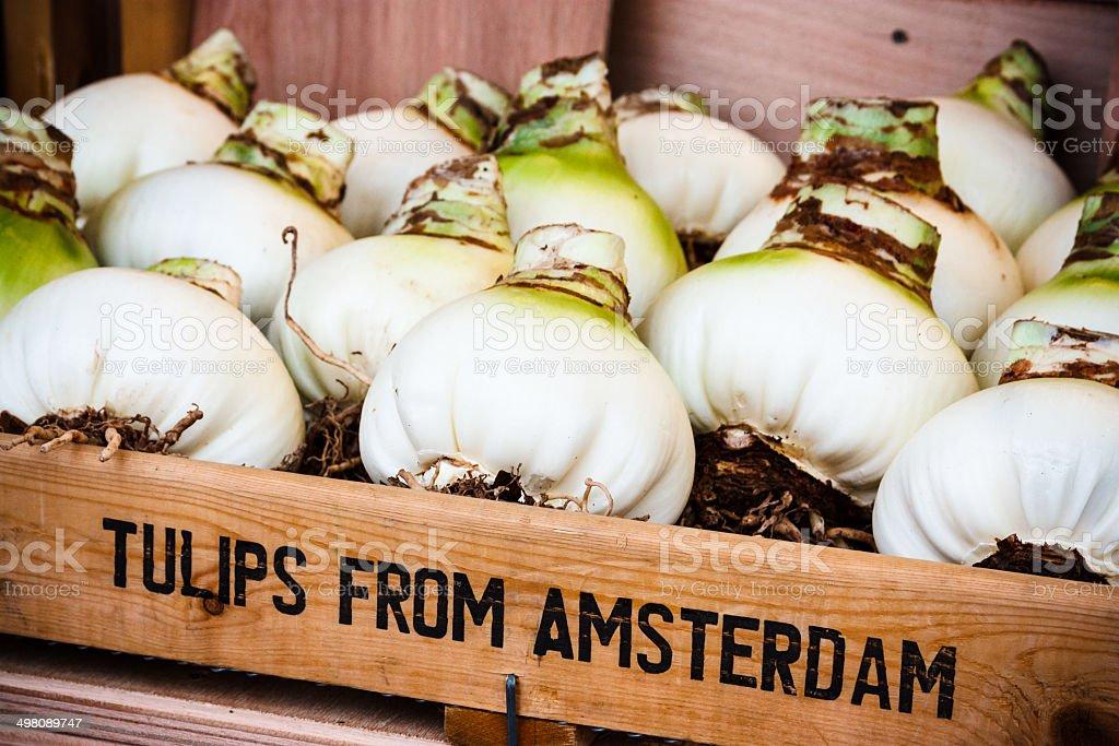 Tulip bulbs in Amsterdam stock photo