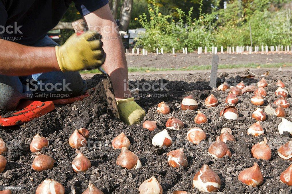 можно ли сажать тюльпаны в ноябре образом, выбор