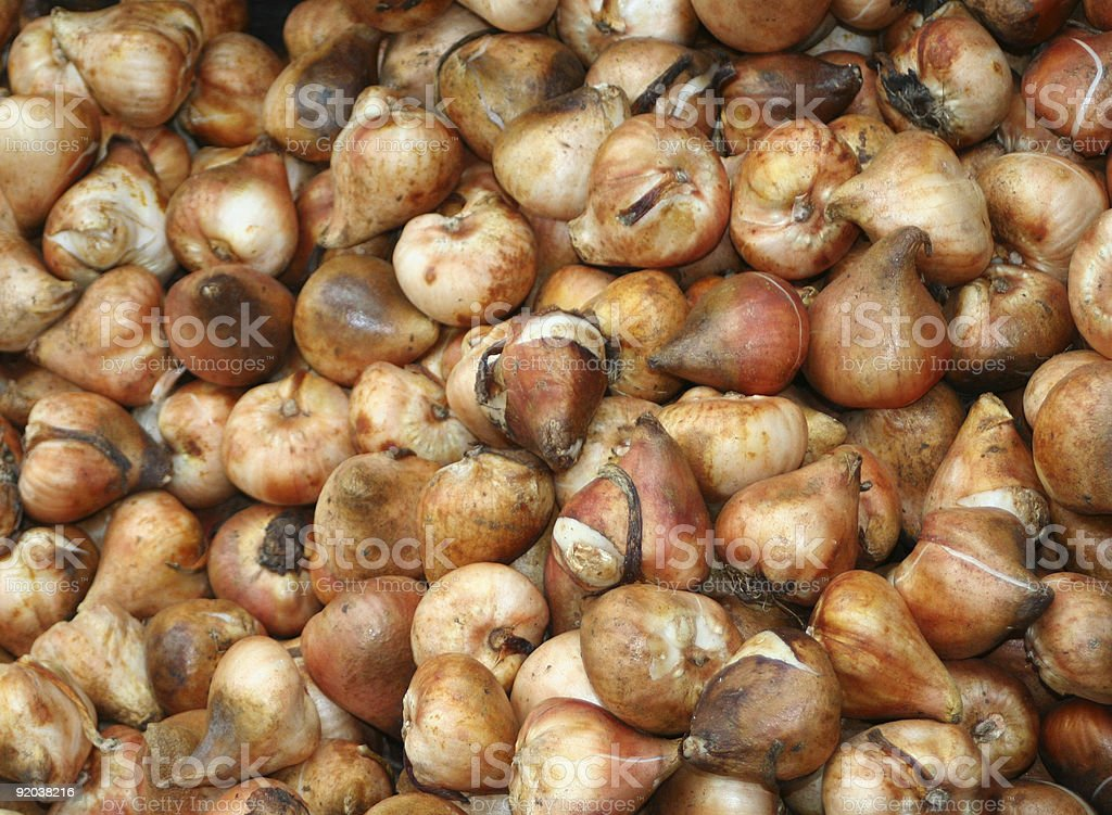 tulip bulbs royalty-free stock photo