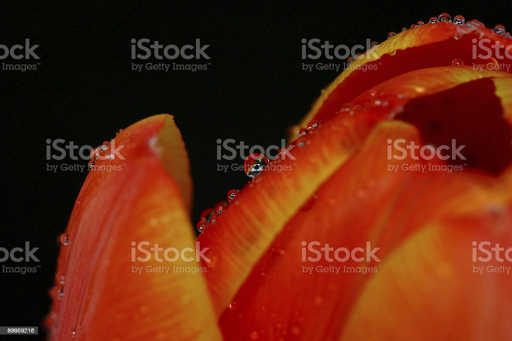 Tulip detail with water droplets royalty-free stock photo