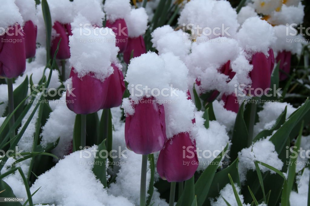 Tulip during Spring, Onset of Winter, Variable April Weather, Climate Change stock photo