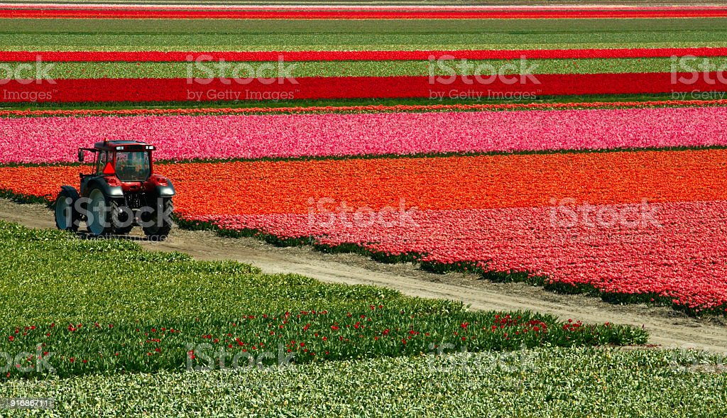 Tulip field and truck. stock photo