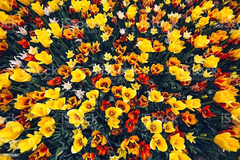 Tulip Field From Above stock photo