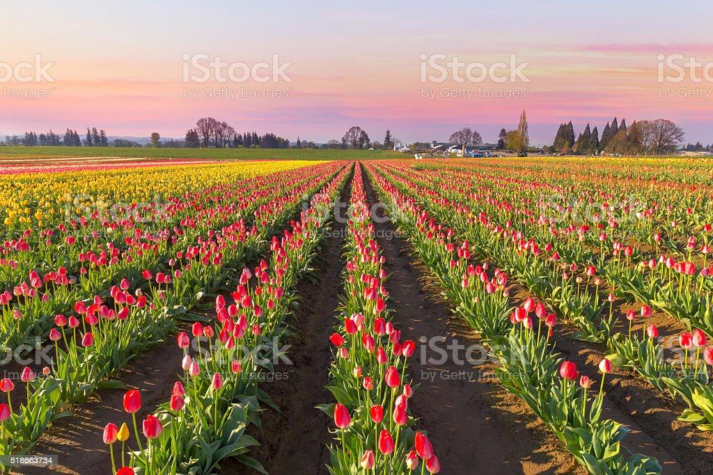Tulip Field in Bloom at Sunrise stock photo