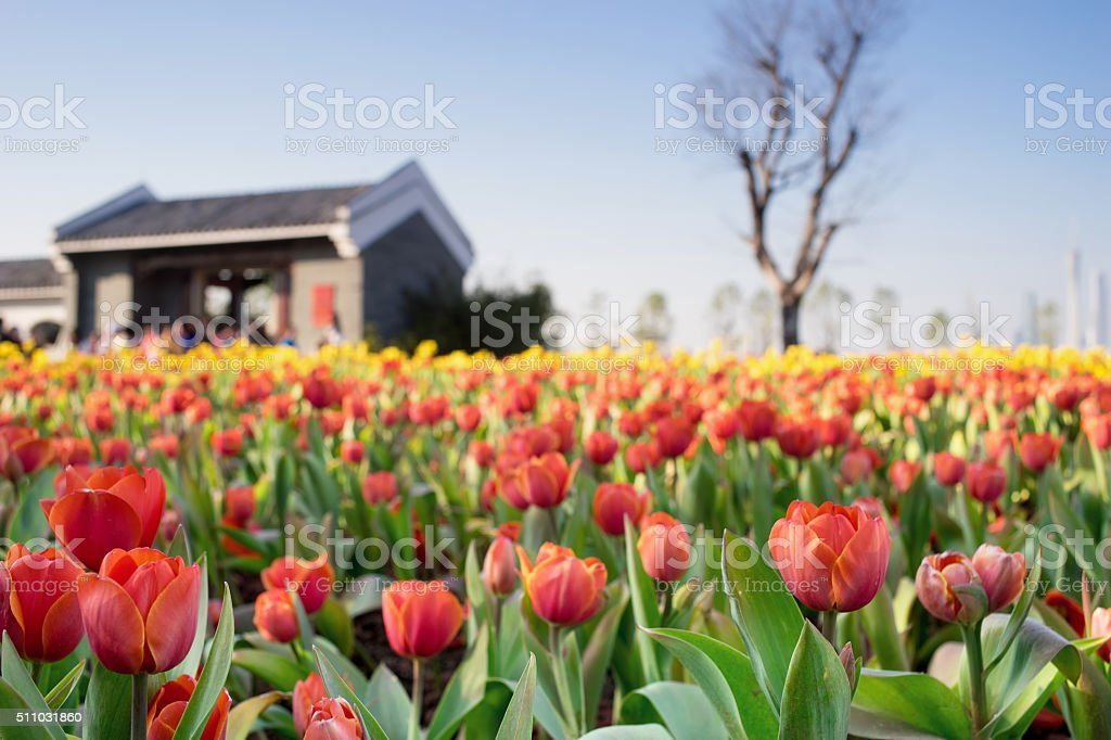 tulip field in front of a house stock photo