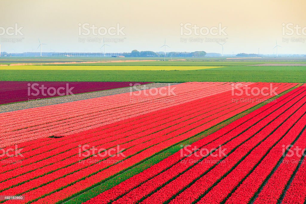 Tulip field overview stock photo