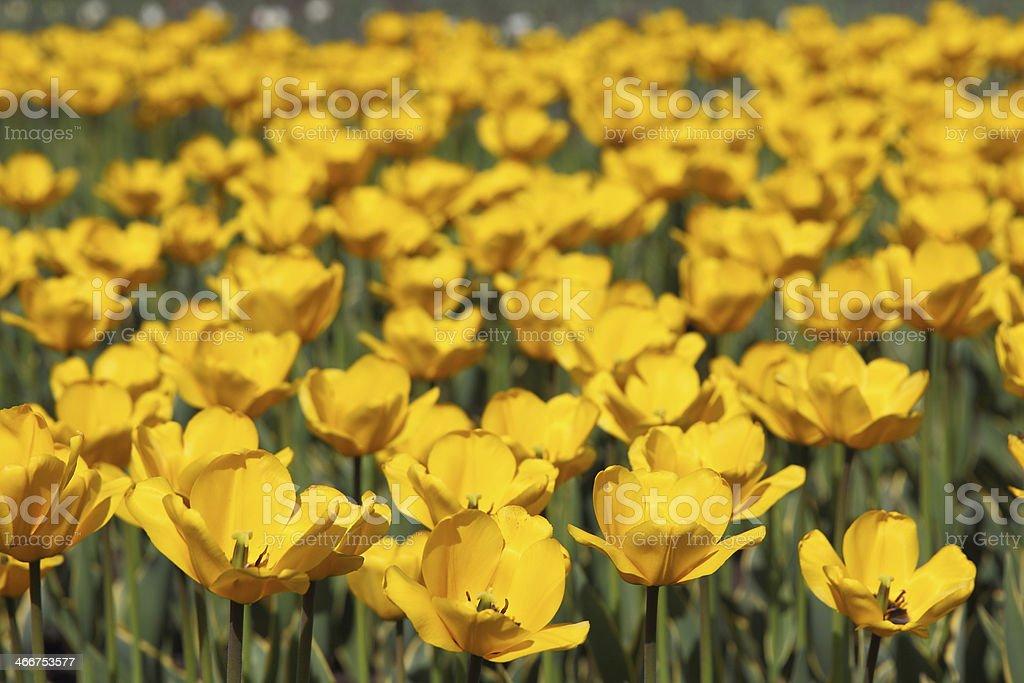tulip field stock photo