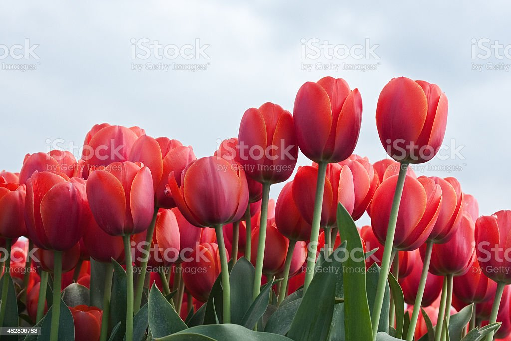 Tulip Field royalty-free stock photo