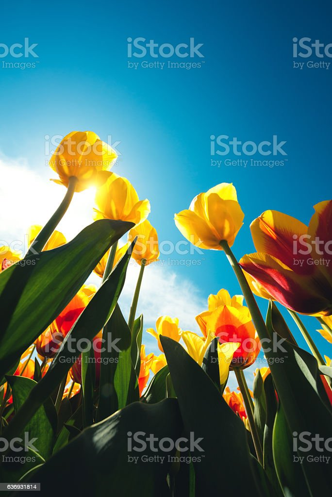 Tulip Field stock photo