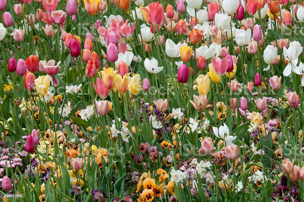 Tulip field (Tulipa) stock photo
