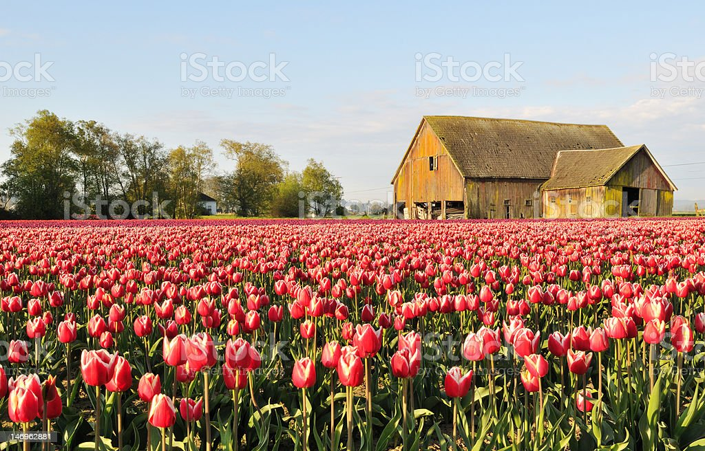 Tulip field with dilapidated old barn  stock photo