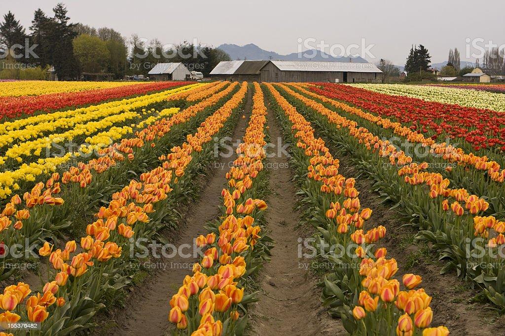 Tulip Field With Farm stock photo