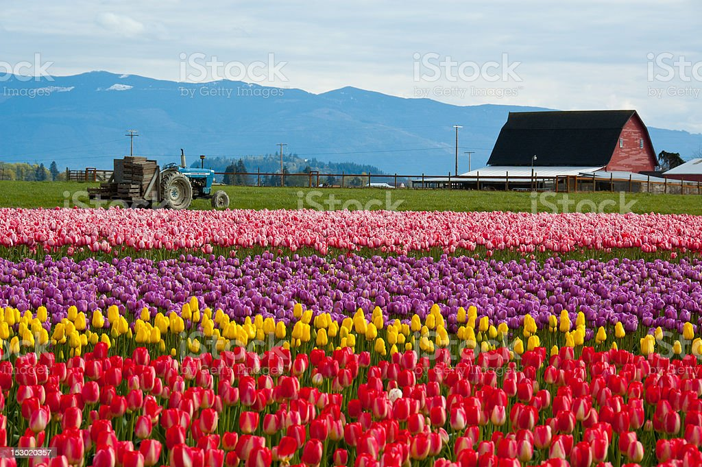 Tulip Field With Tractor and Barn stock photo