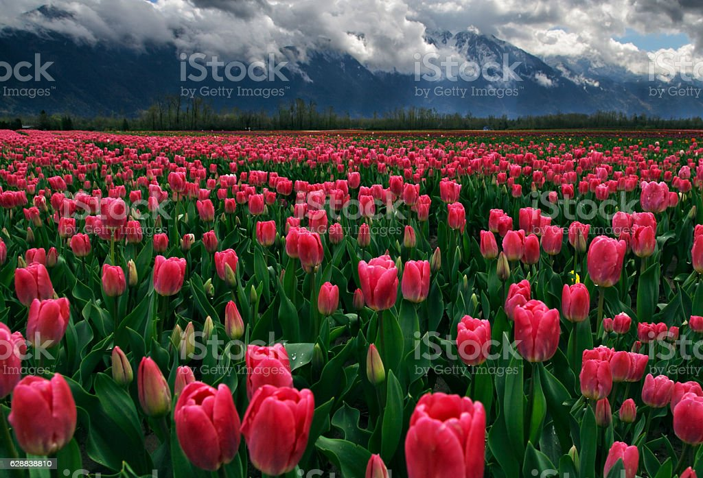 Tulip fields at Agassiz in Vancouver stock photo