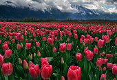 Tulip fields at Agassiz in Vancouver