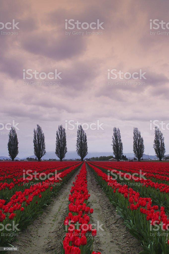 Tulip Fields in Spring stock photo