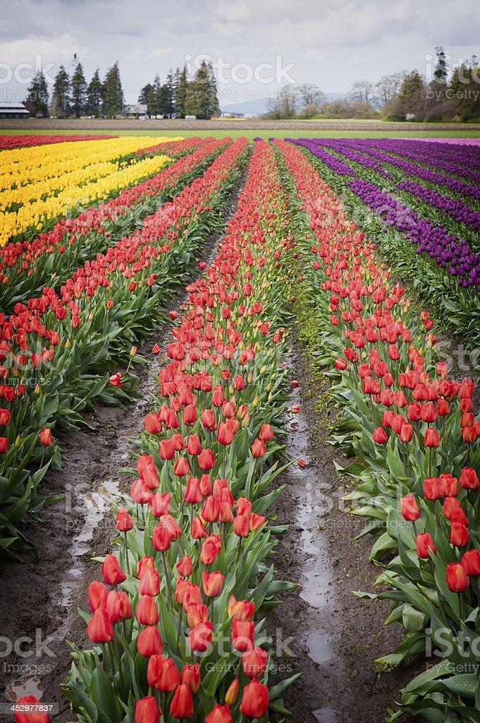 Tulip Fields in the Skagit Valley, Washington State. stock photo