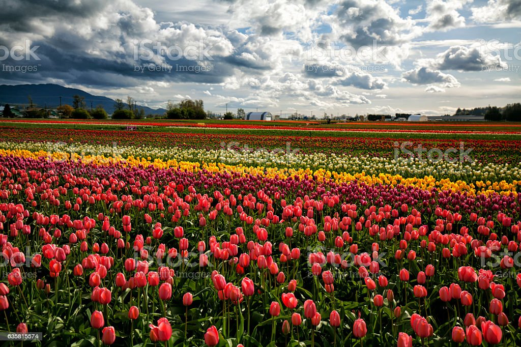 Tulip fields in valley at Springtime,BC,Canada stock photo