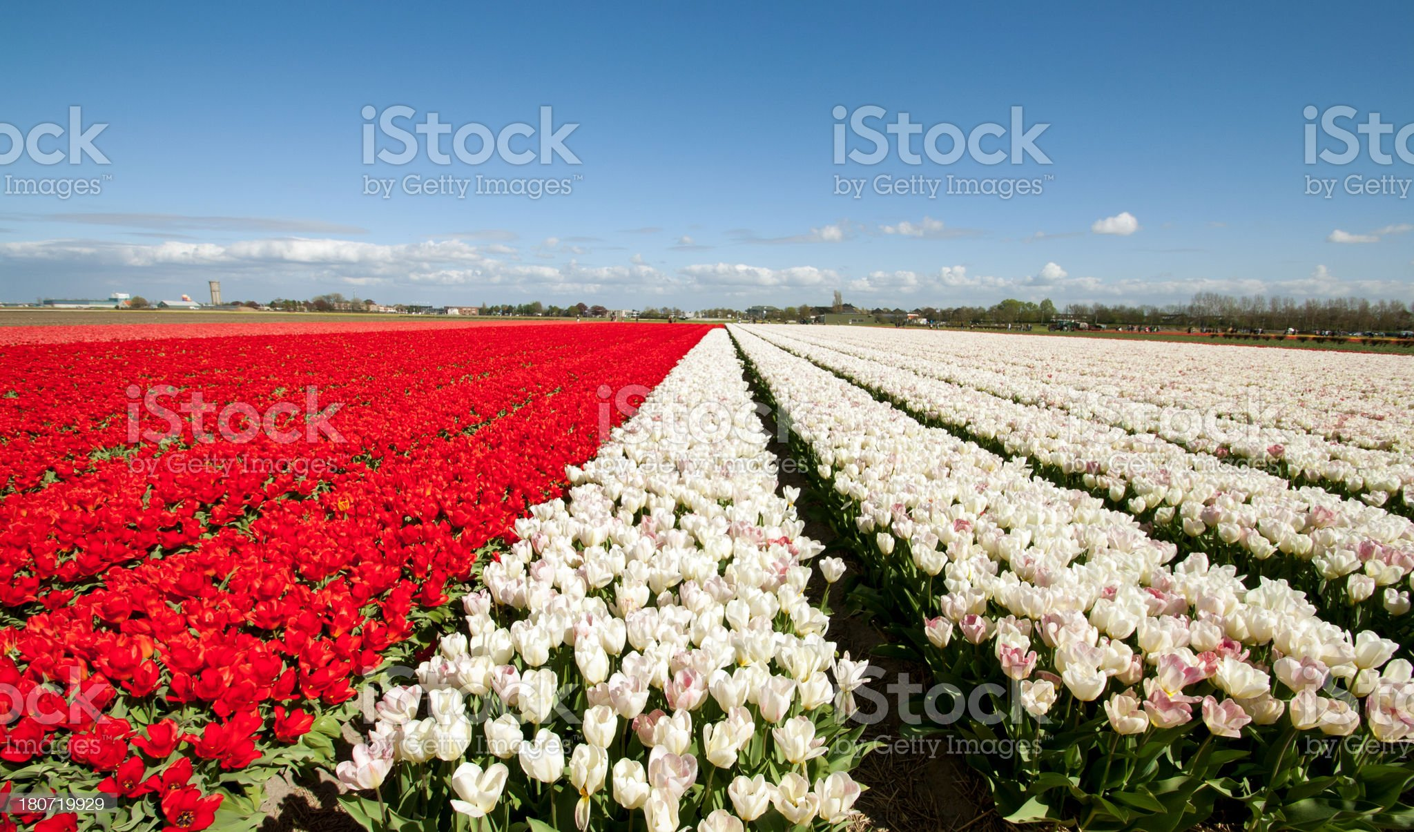Tulip fields royalty-free stock photo