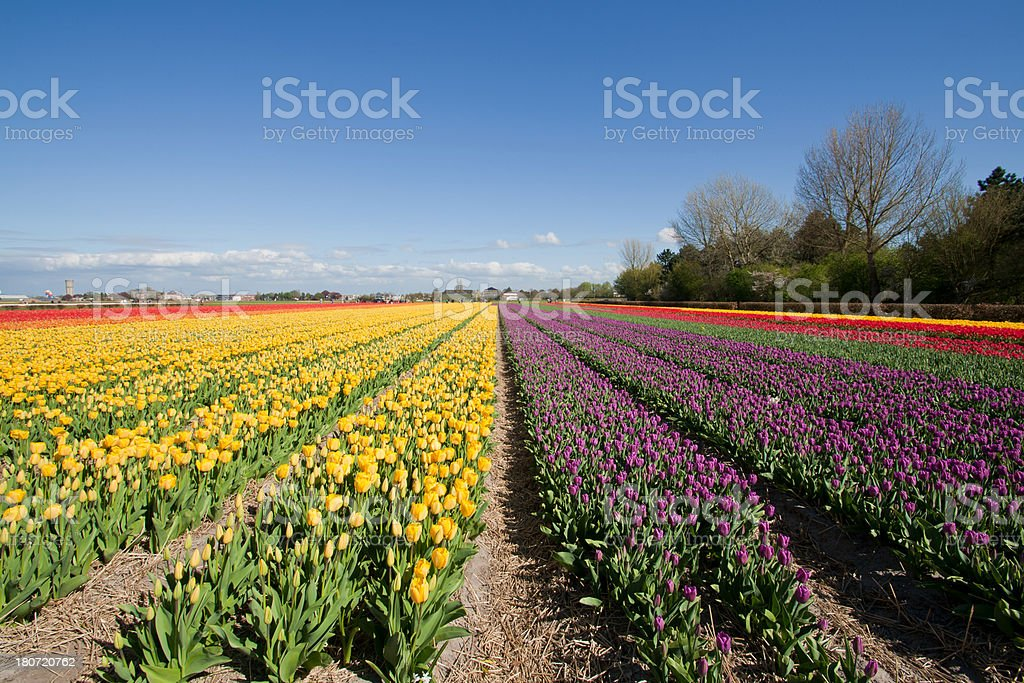 Tulip fields royalty-free stock photo