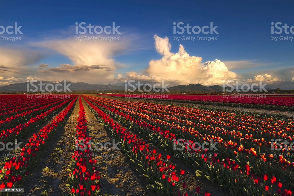 Tulip Fields with Clouds stock photo