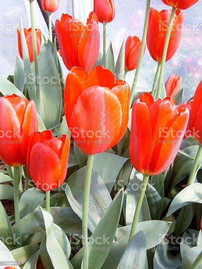 Tulipán fest foto de stock libre de derechos
