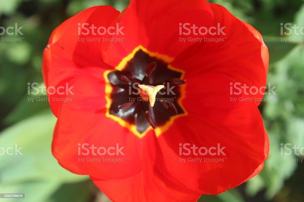Tulip flower closeup - Stock Image stock photo