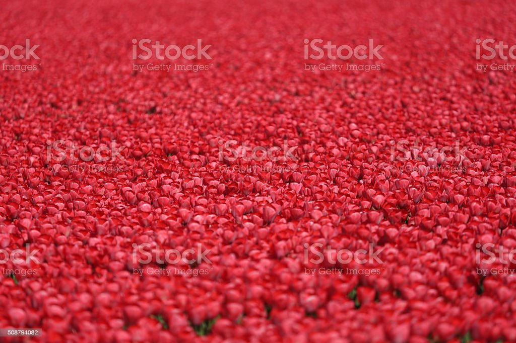 Tulip flower field red tulips flowers spring in Netherlands stock photo