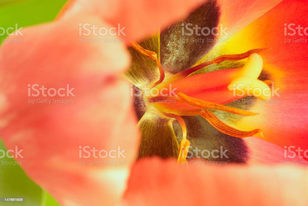 Tulip flower inside makto stock photo
