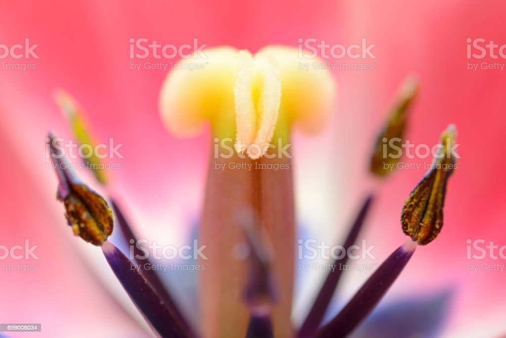 Tulip flower macro close up stock photo