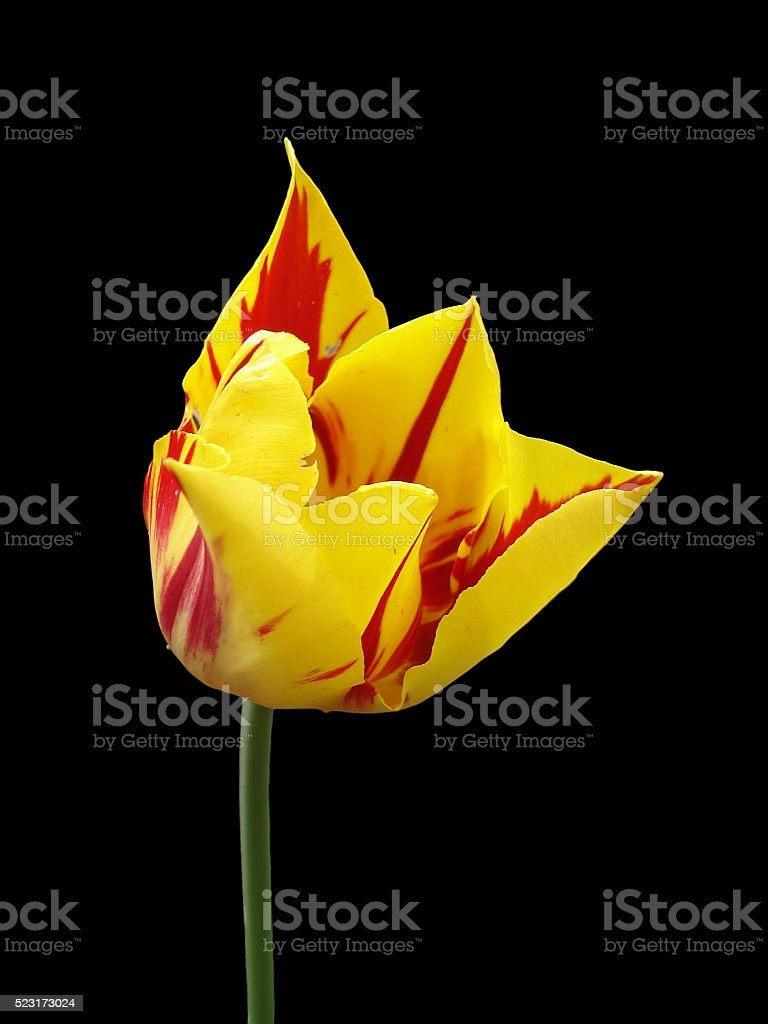Tulip flower 'Mona Lisa' on a black background stock photo
