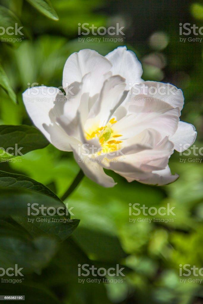 Tulip flower stock photo