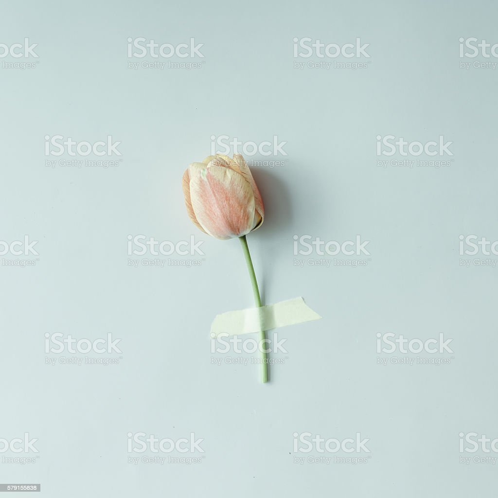 Tulip flower taped to bright background. stock photo