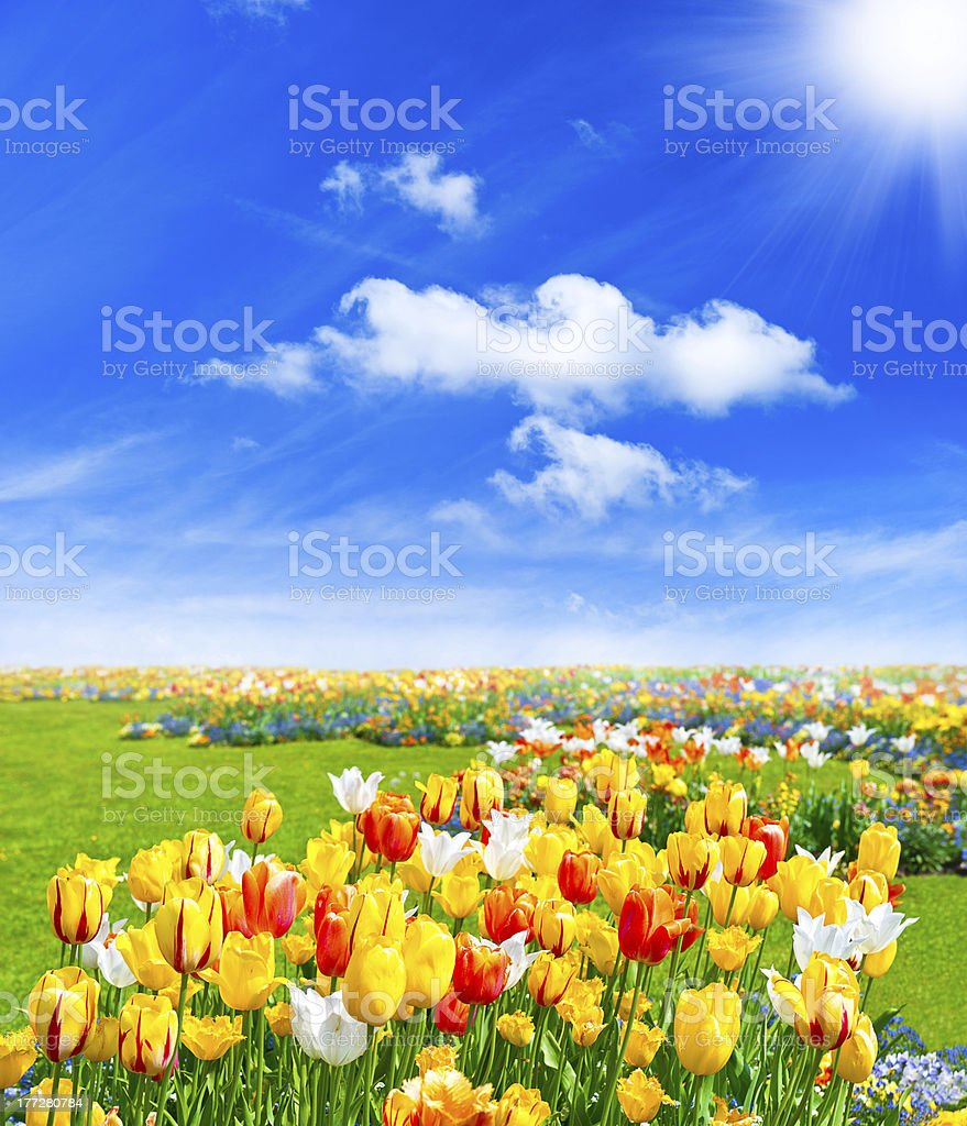 tulip flowers field. spring landscape royalty-free stock photo