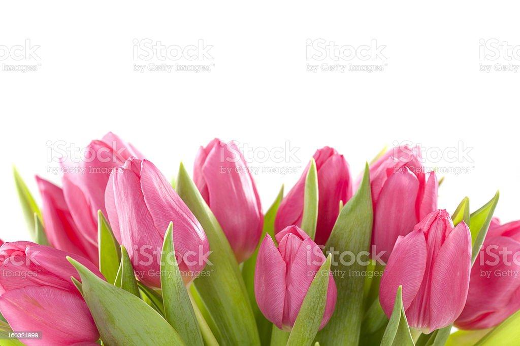 Tulip flowers stock photo