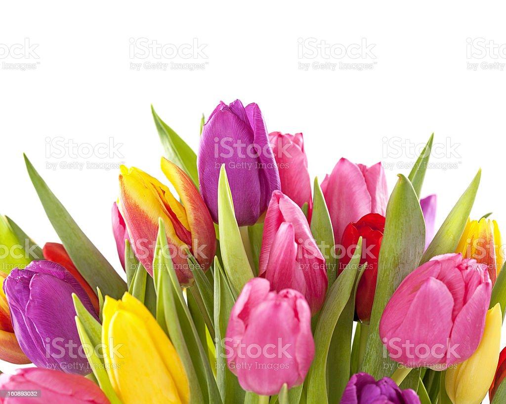Tulip flowers royalty-free stock photo