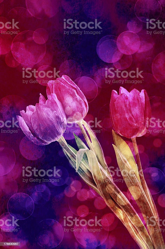 Tulip flowers royalty-free stock photo