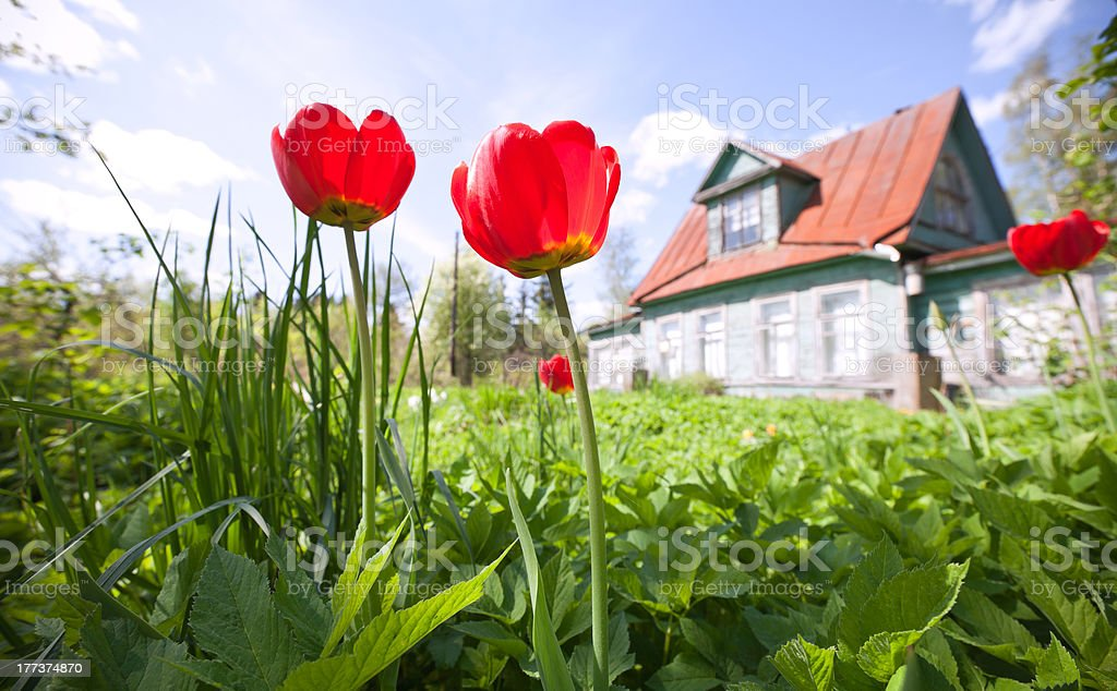 Tulip flowers with old classical summer cottage stock photo