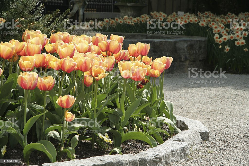 tulip garden royalty-free stock photo