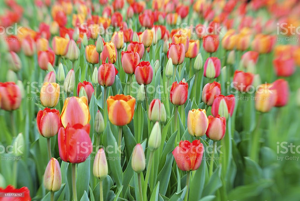 Tulip Garden royalty-free stock photo