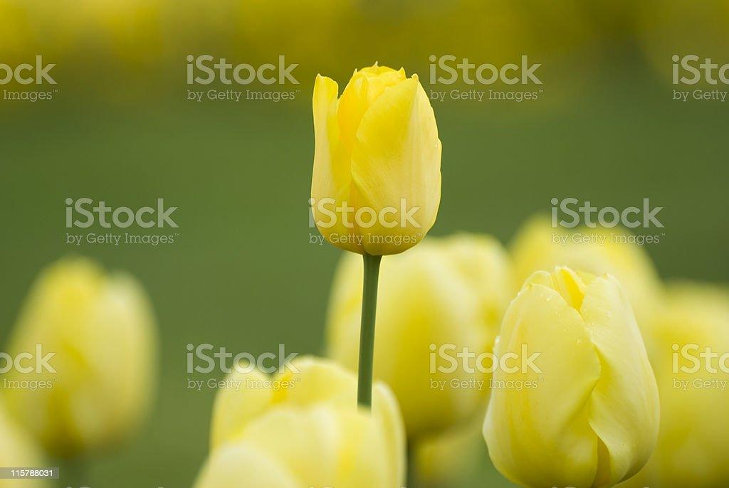 Tulip growing tall stock photo